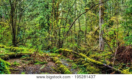 Moss covered trees in the temperate rain forest of Kanaka Creek Regional Park near the town of Maple Ridge in British Columbia, Canada