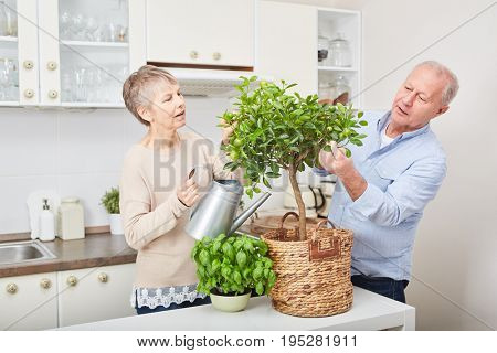 Couple of seniors gardening fruit tree in the kitchen