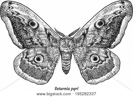 Giant peacock moth illustration, drawing, engraving, ink, line art