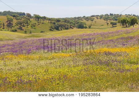 Flowers Field In Vale Seco, Santiago Do Cacem