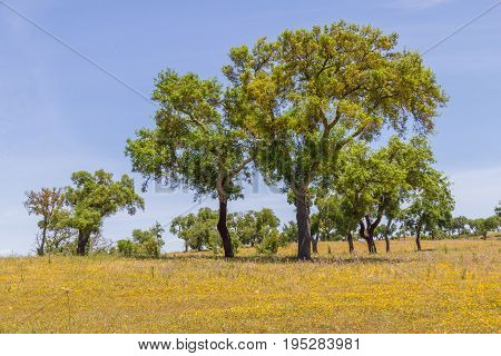 Cork Trees In A Farm Field In Vale Seco, Santiago Do Cacem