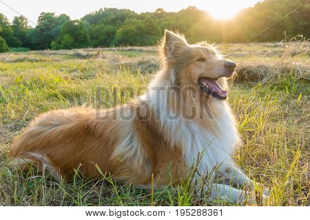 Collie dog lying down on green field at sunlight