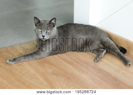 Cute gray cat laying stretched out on the floor. Portrait of elegant Russian Blue Cat