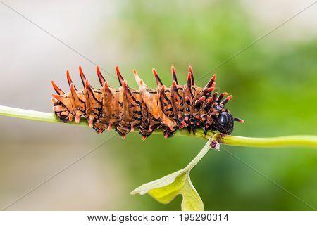 Golden Birdwing (troides Aeacus) Caterpillar