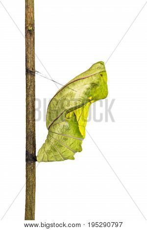 Golden Birdwing (troides Aeacus) Butterfly Pupa