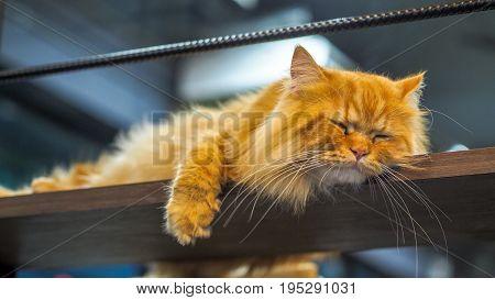 Persian cats is sleeping on the mezzanine.