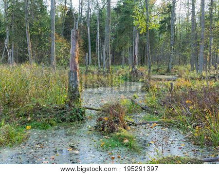 Slow flowing forest stream in sunset crossing dead trees forest, Bialowieza Forest, Poland, Europe