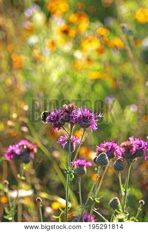 bumble bee on purple knapweed yellow flowers in the background back light