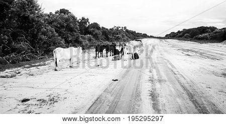 Cows side of the sandy road in Mozambique, Africa