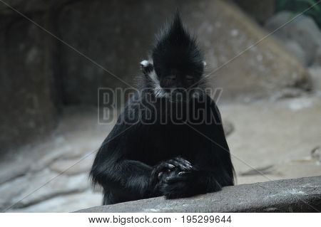 Francois Langur Monkey sitting on a rock