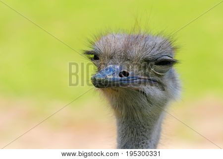 Ostrich head one. Horizontal frame. Color green gray brown yellow. Summer. Tricky glance. Blinked eyes