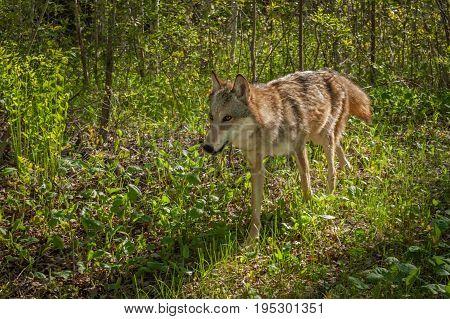 Grey Wolf (Canis lupus) Runs Through Brush - captive animal