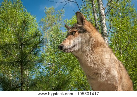 Grey Wolf (Canis lupus) From Below - captive animal