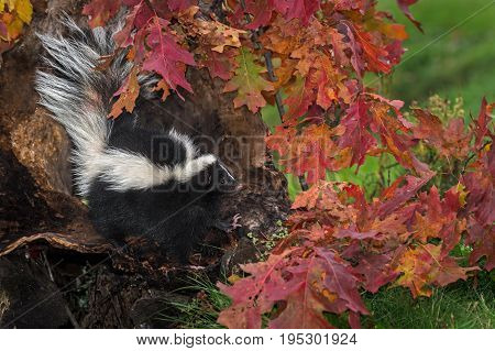 Striped Skunk (Mephitis mephitis) Looks Right From Log - captive animal