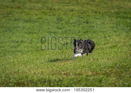 Stock Dog Runs Forward - at sheep herding trials
