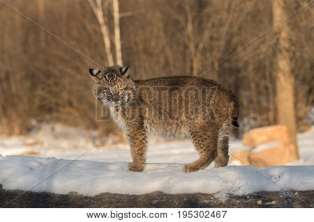 Bobcat (Lynx rufus) Stands Defiant Atop Log - captive animal