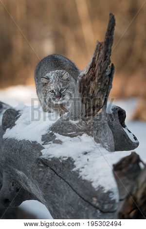 Bobcat (Lynx rufus) Prepares to Pounce - captive animal