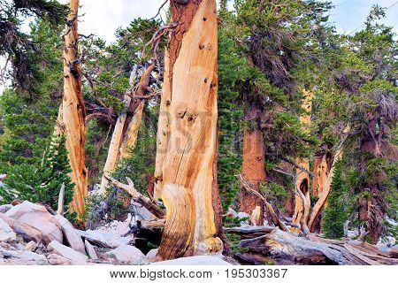Lodgepole Pine Trees also known as twisted pines taken in the high altitudes of the Sierra Nevada Mountains, CA