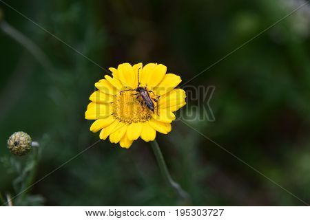 A long-horned beetles visiting a member of the asteraceae