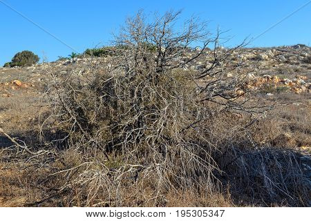 Large bush of dry plants a rocky earth background