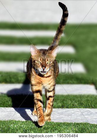 Bengal cat trotting jauntily toward the camera