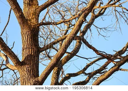 Bare branches of a tree. Branches without leaves against the blue sky