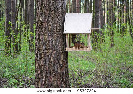Squirrel eats from a bird feeder in the forest