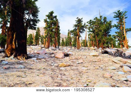 Lodgepole Pine Trees at an alpine forest in the higher altitudes of the Sierra Nevada Mountains, CA