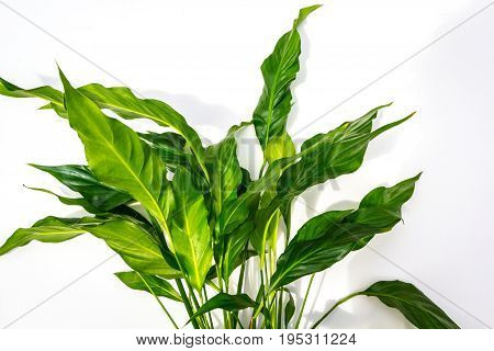 Exotic plants white background with green leaves