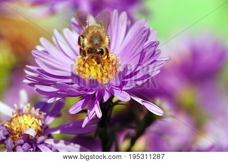 detail of bee or honeybee in Latin Apis Mellifera european or western honey bee sitting on the violet flower golden honeybee on flower