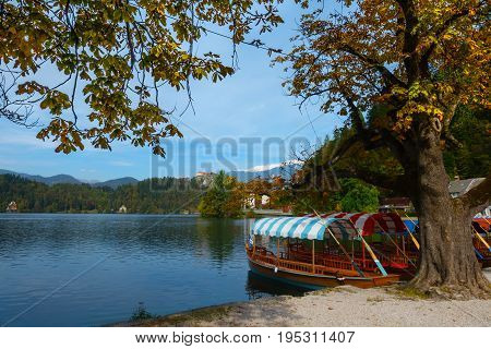 Traditional rowboats with colorful roofs the so-called pletna boats in the water of Lake Bled under a chestnut tree in fall colors during autumn season in Bled Slovenia.