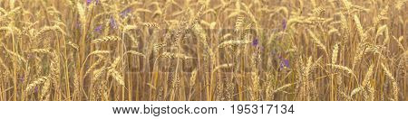 Agricultural Fragmental Panorama Of Wheat Field