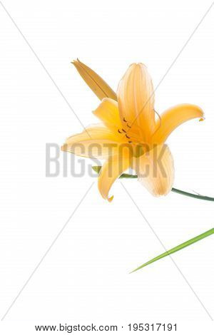 Beautiful Blooming Lily