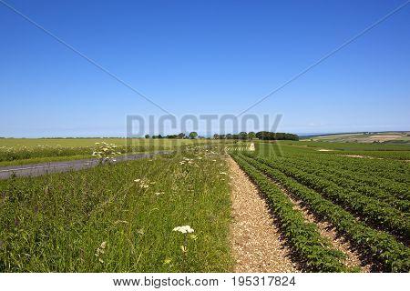 Sledmere Potato Crop