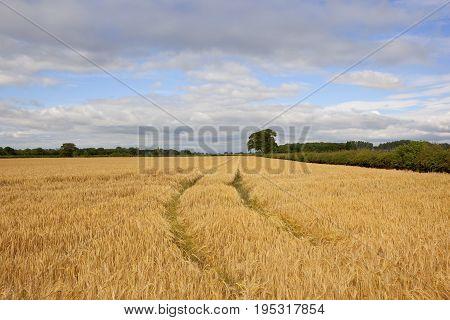 Golden Yorkshire Barley