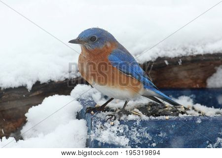 Male Eastern Bluebird (Sialia sialis) perched on a feeder in snow