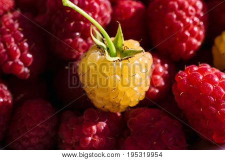 Sweet Fresh Organic Raspberries Background Closeup, Selective Focus, Free Space. Macro Photo. One Ye