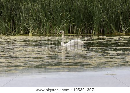 Mute Swan in Water with grass in the background.