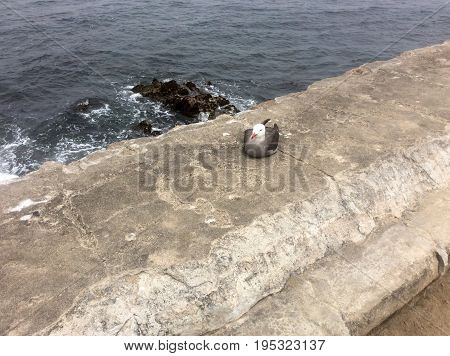 Seagull sitting on stone ledge with blue gray water and rocks below at Liver's Point in Pacific Grove, California.