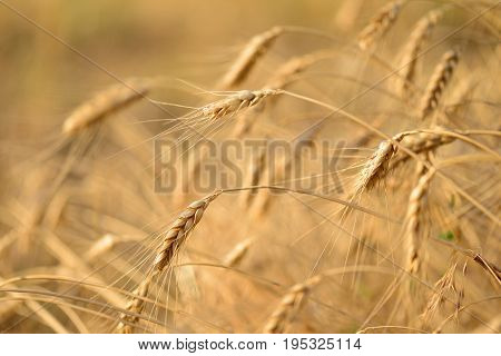 Wheat field. Ears of golden wheat close up. Beautiful Nature Sunset Landscape. Rural Scenery. Background of ripening ears of meadow wheat field.