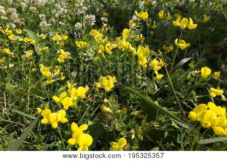 Meadow with wildflowers with the predominance of yellow flowers