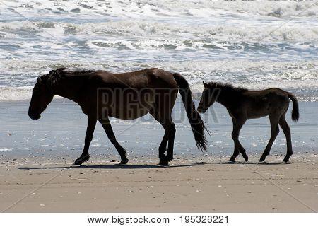 View of Wild horses walking along the beach in Corolla, North Carolina