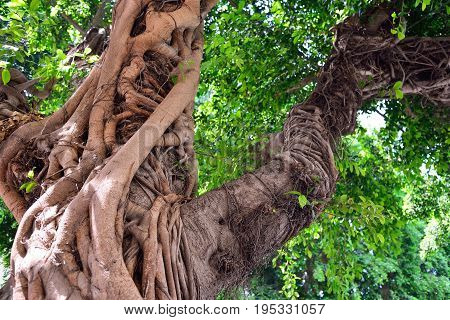 The trunk of a large ficus tree. Exotic southern plant.