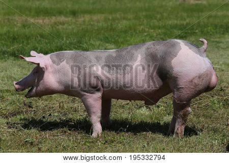 Young duroc breed pig on natural environment