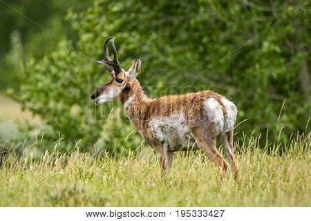 Solo Pronghorn Antelope in a grass field