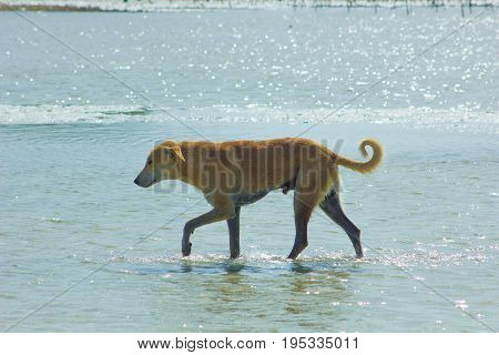 Stray Dog Hanging Around On The Beach Enjoying The Water, Marsa Alam, Red Sea, Egypt