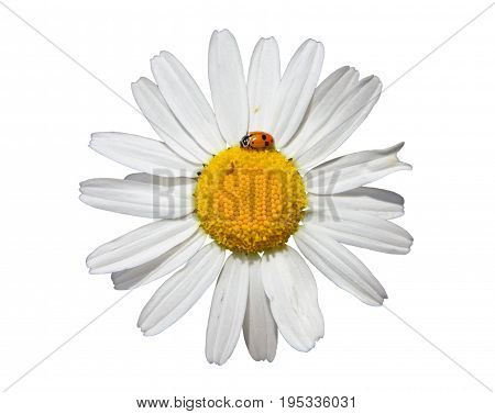 Flower of oxeye daisy (leuchanthemum vulgare) isolated on white background closeup