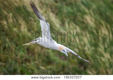 The Gannet or latin Morus Over Bempton cliffs in the uk