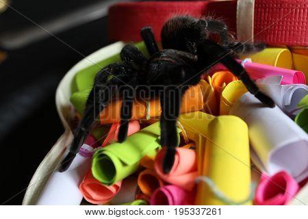 Tarantula In A Gift Box