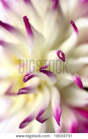 Backround schöne weiße Dahlie Blüte